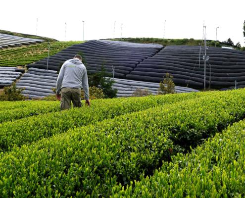 Teefeld in der Gegend um Kyoto nahe Uji