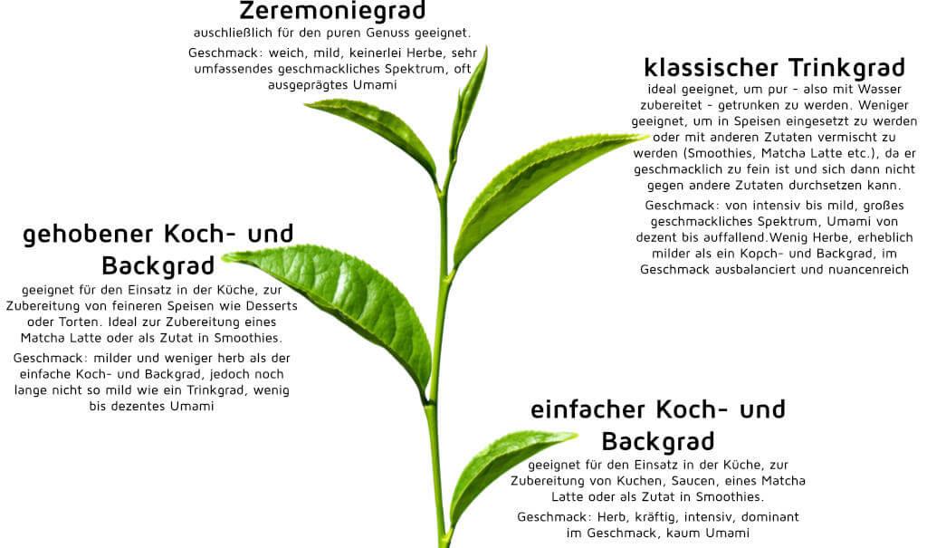 Die Teepflanze und die verschiedenen Matchagrade
